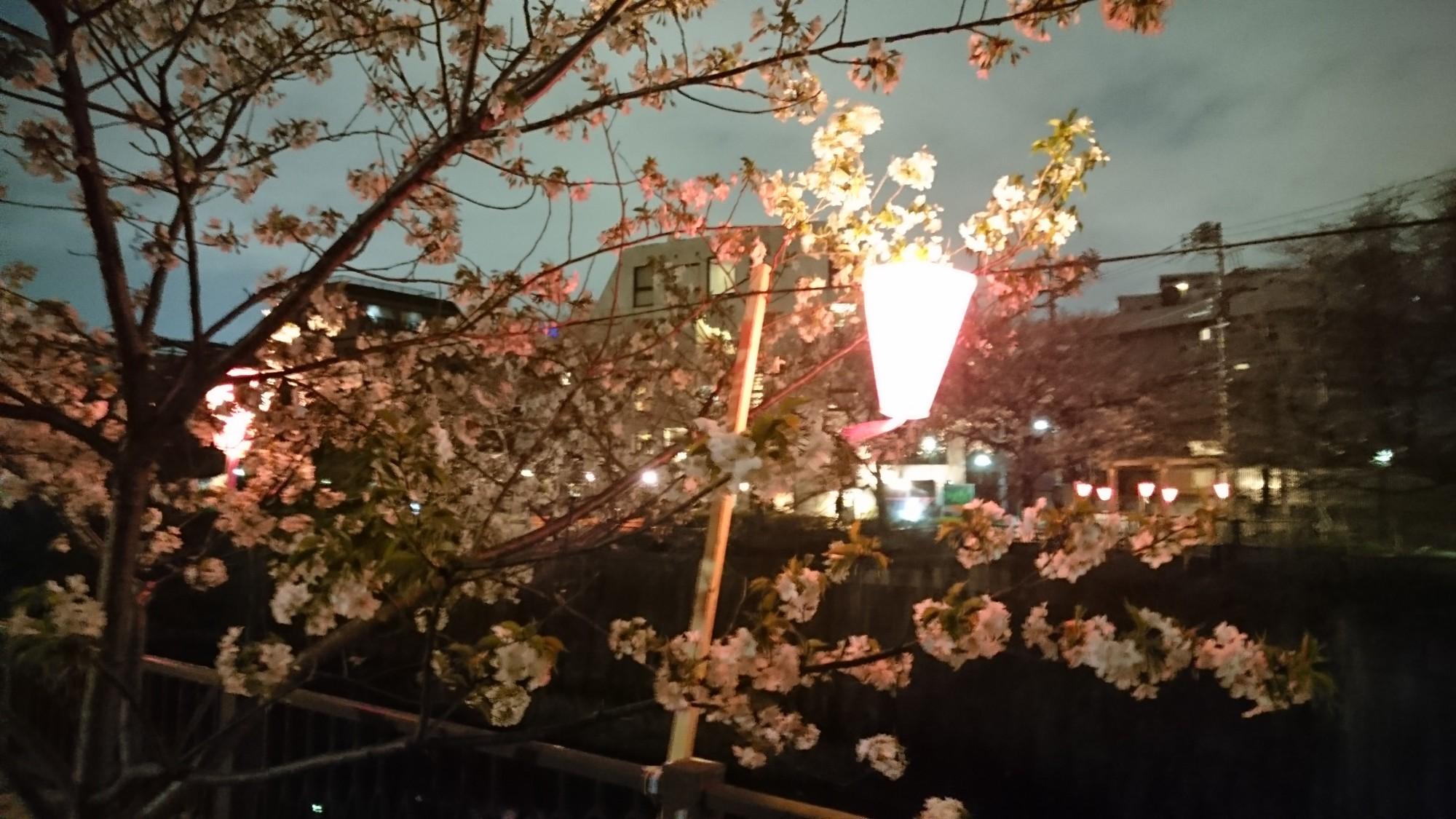 目黒川 花見 ポタリング 開花状況 3/29