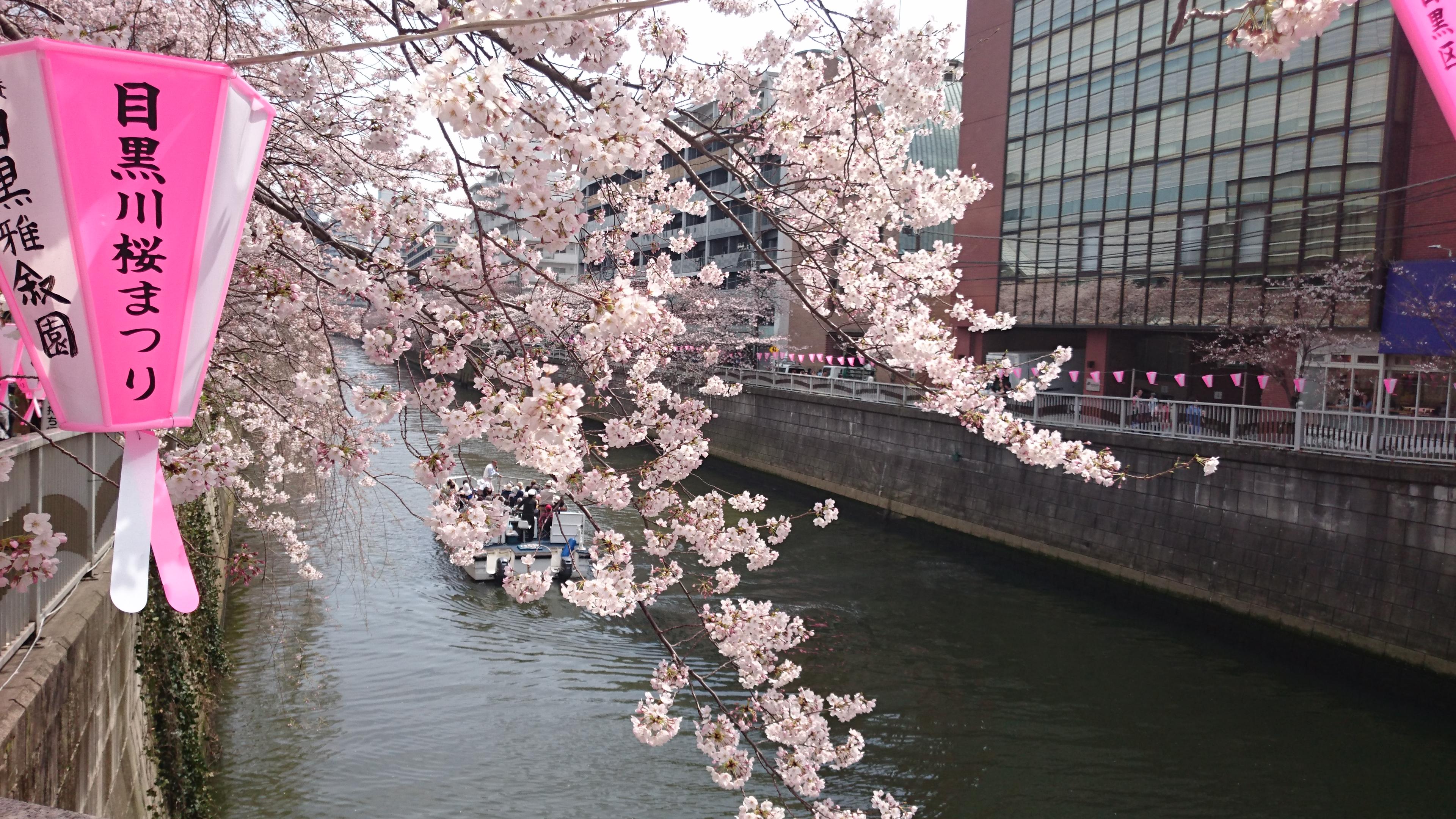 目黒川 雅叙園付近の桜 昼