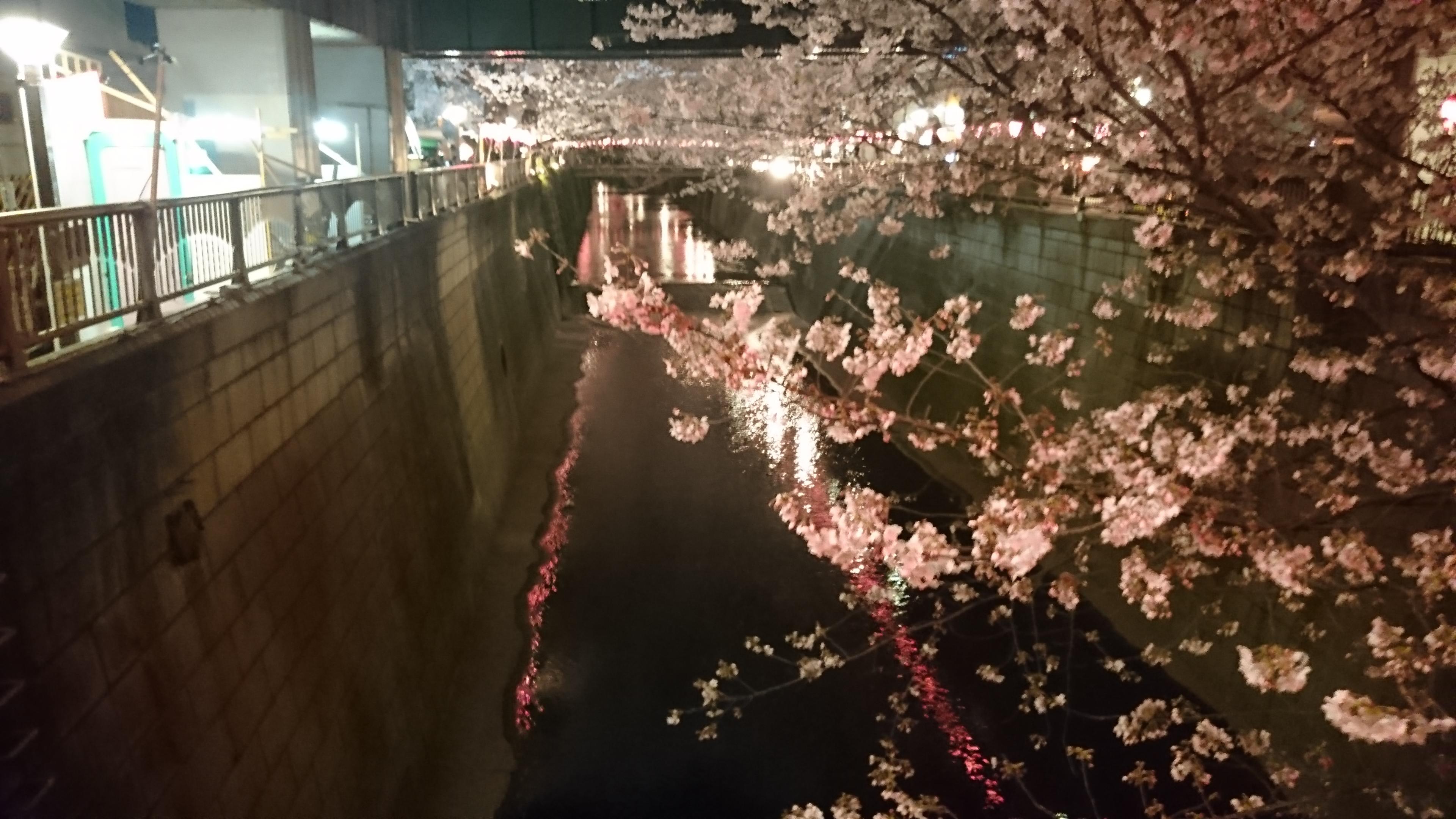 目黒川 花見 ポタリング 開花状況 3/31