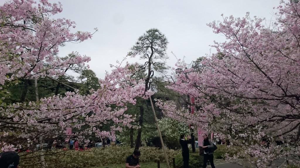 国立劇場の桜はピンクが濃い