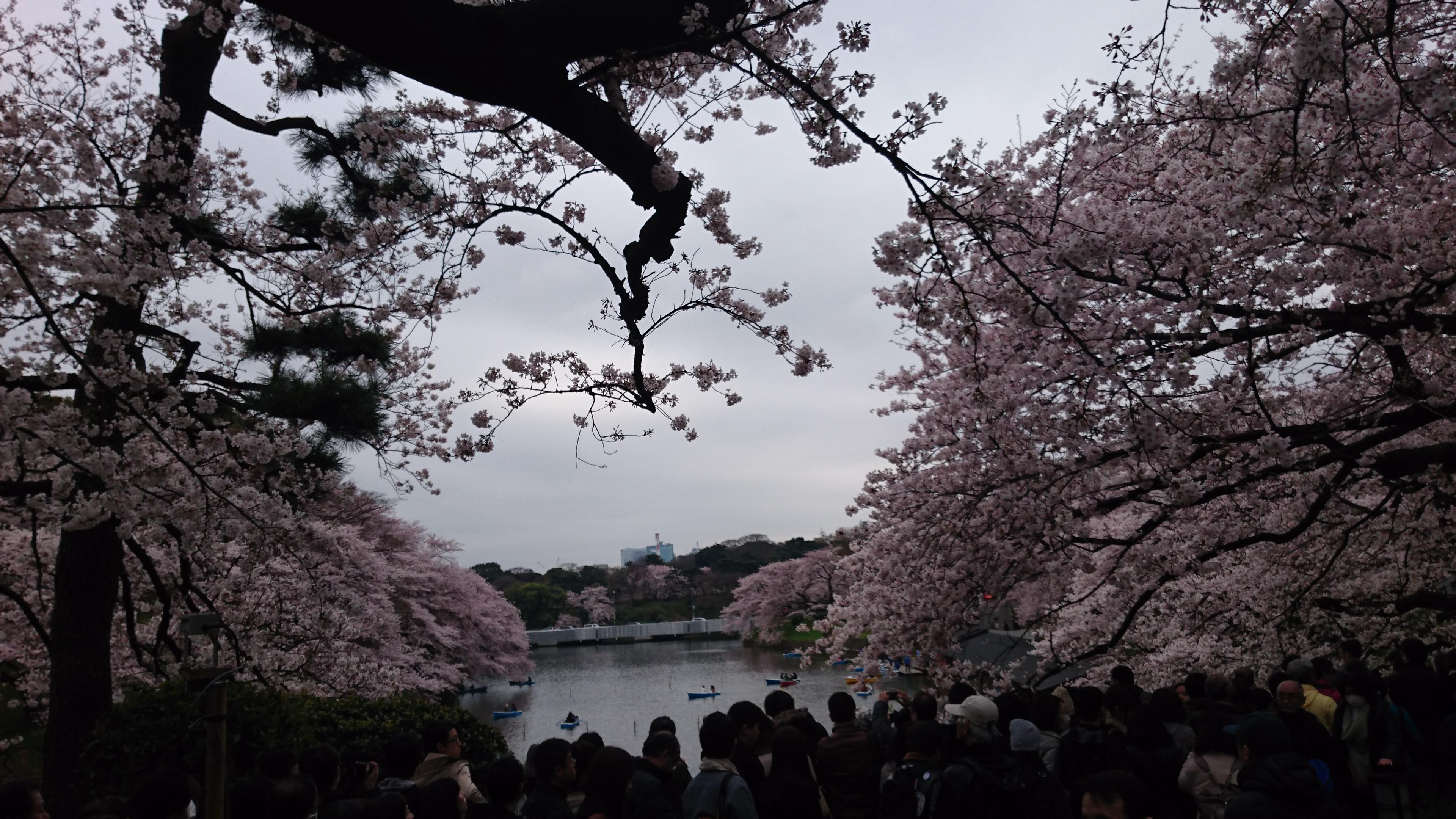 千鳥ヶ淵 お堀の向こう側も桜