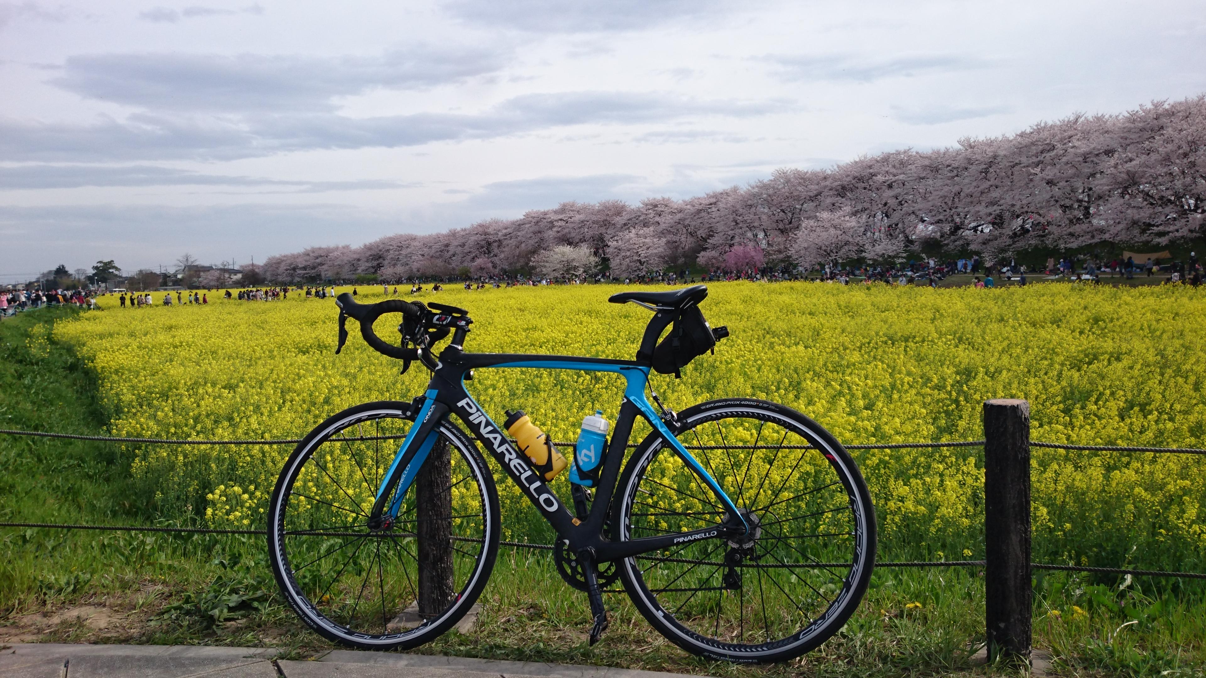 幸手権現堂桜堤の菜の花畑からの桜