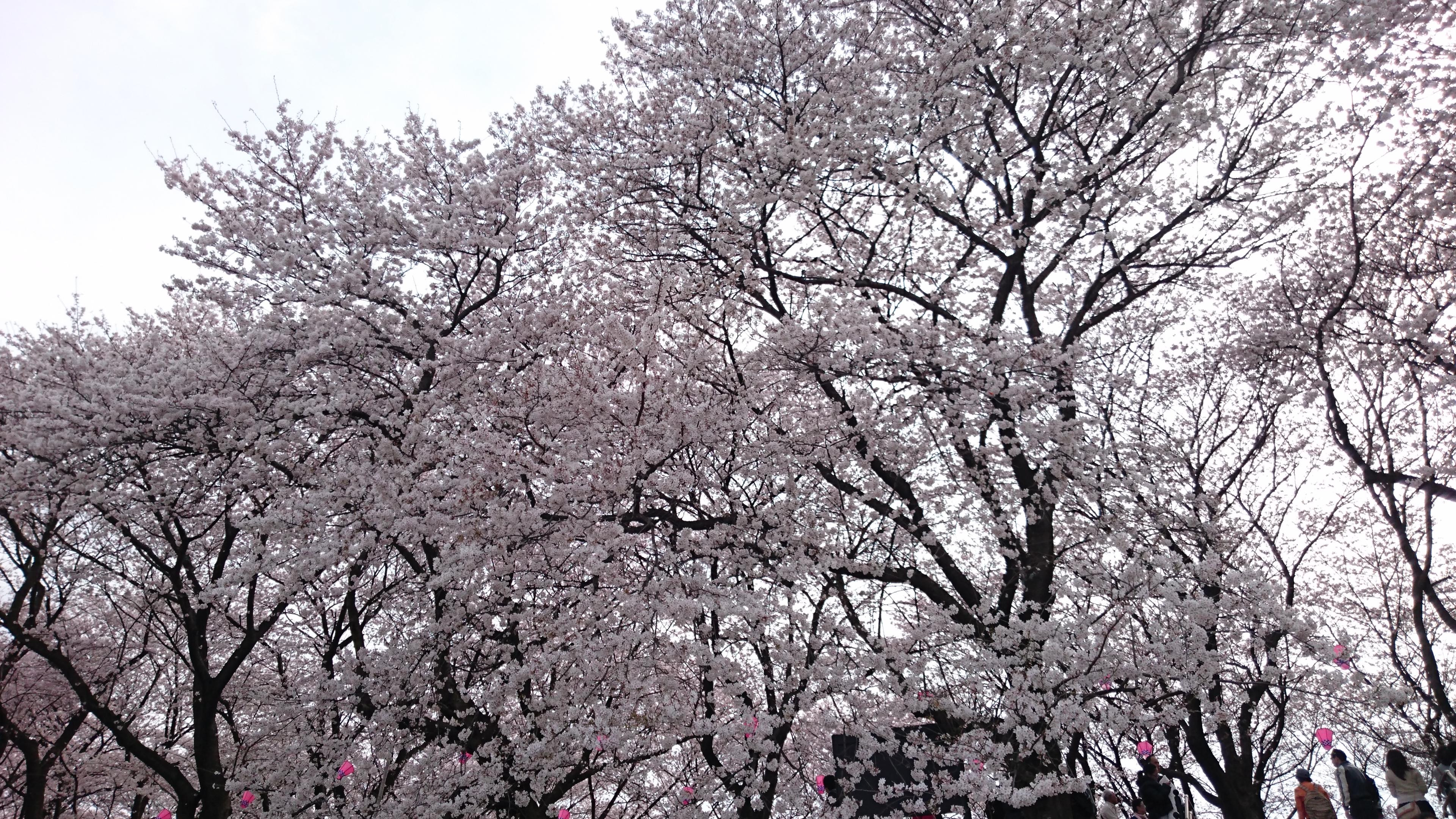 桜だけでも壮観