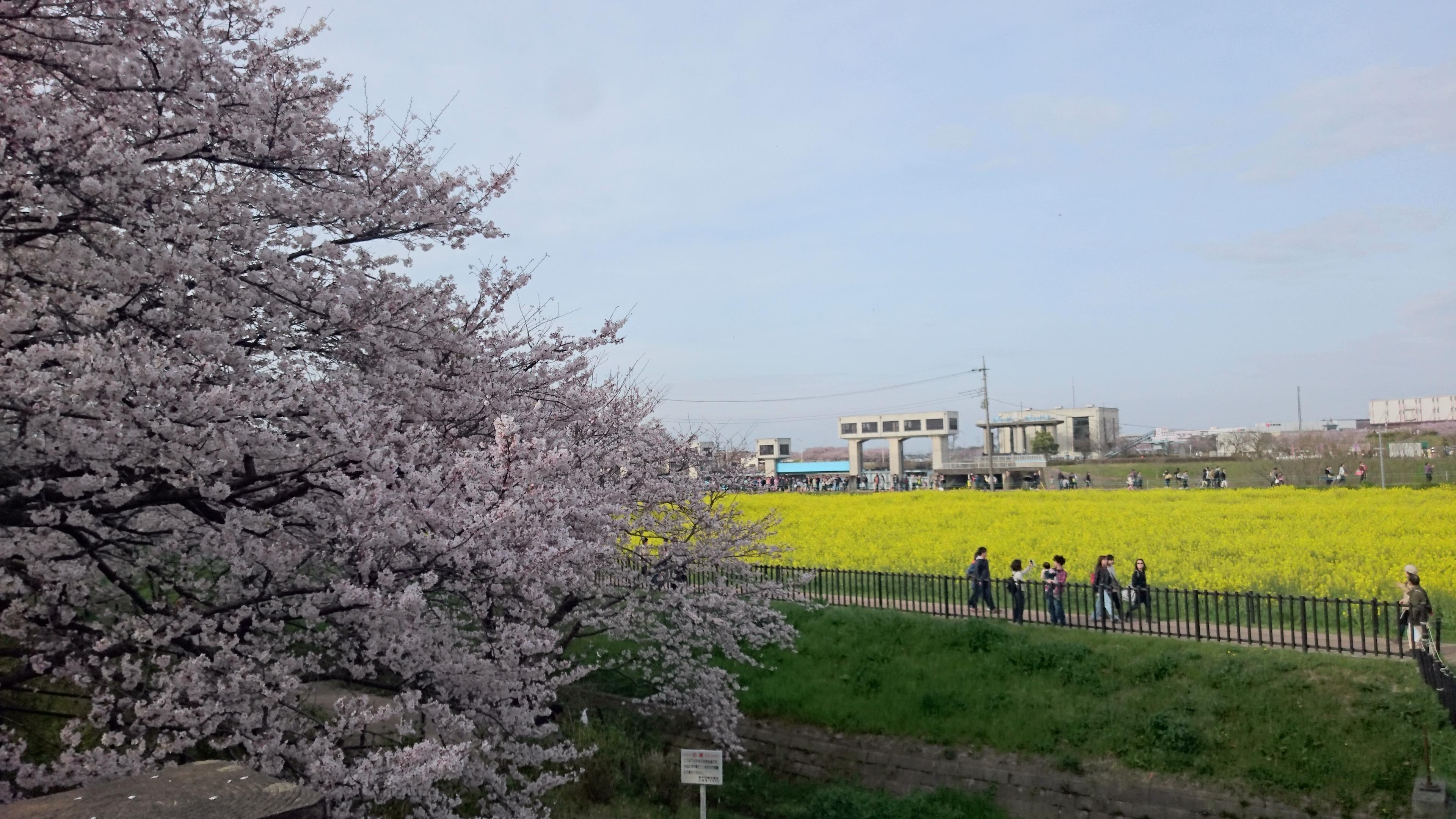 堤側から桜、菜の花を臨む